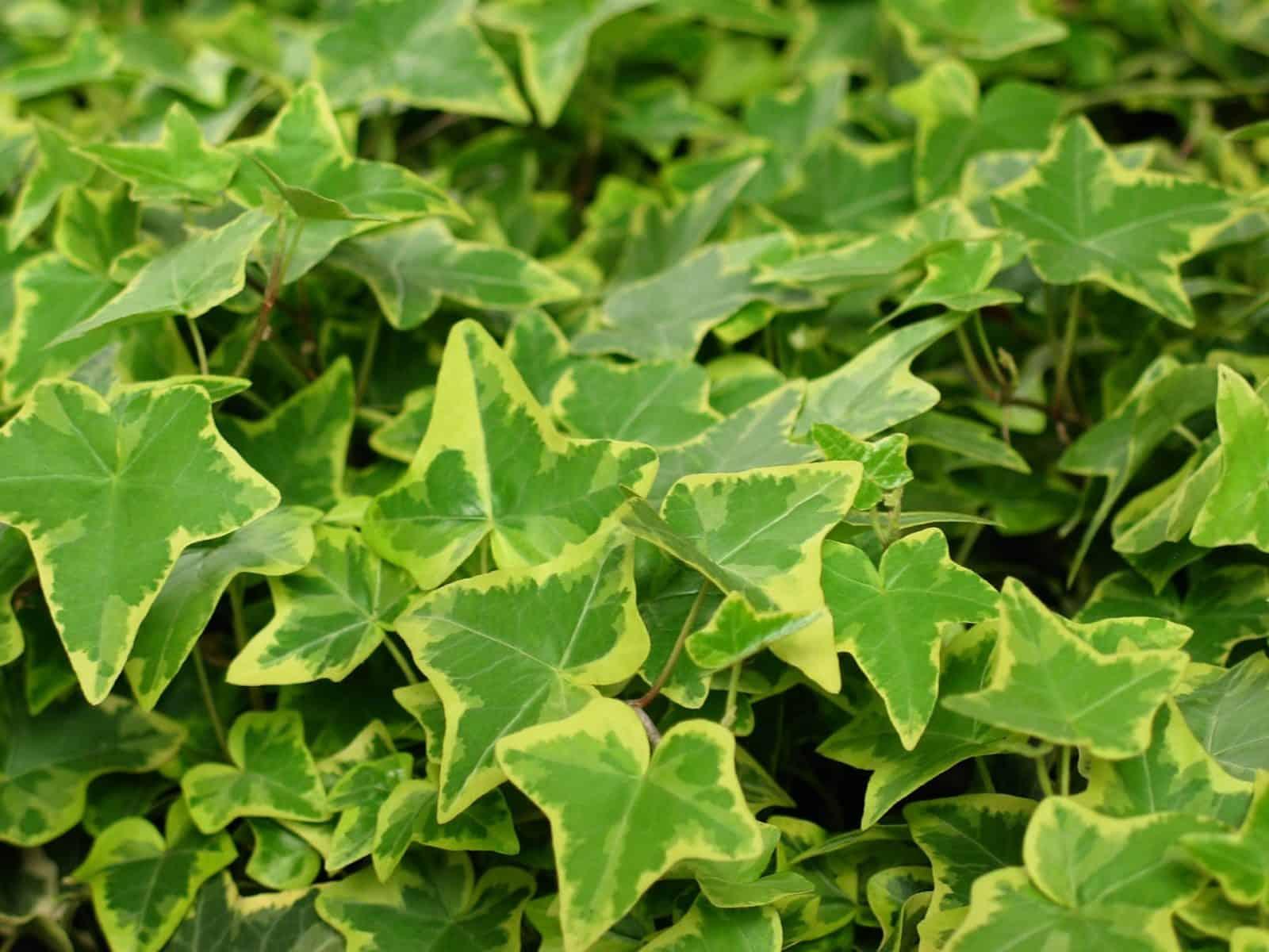 brectan popinavy je vhodna izbova rastlina