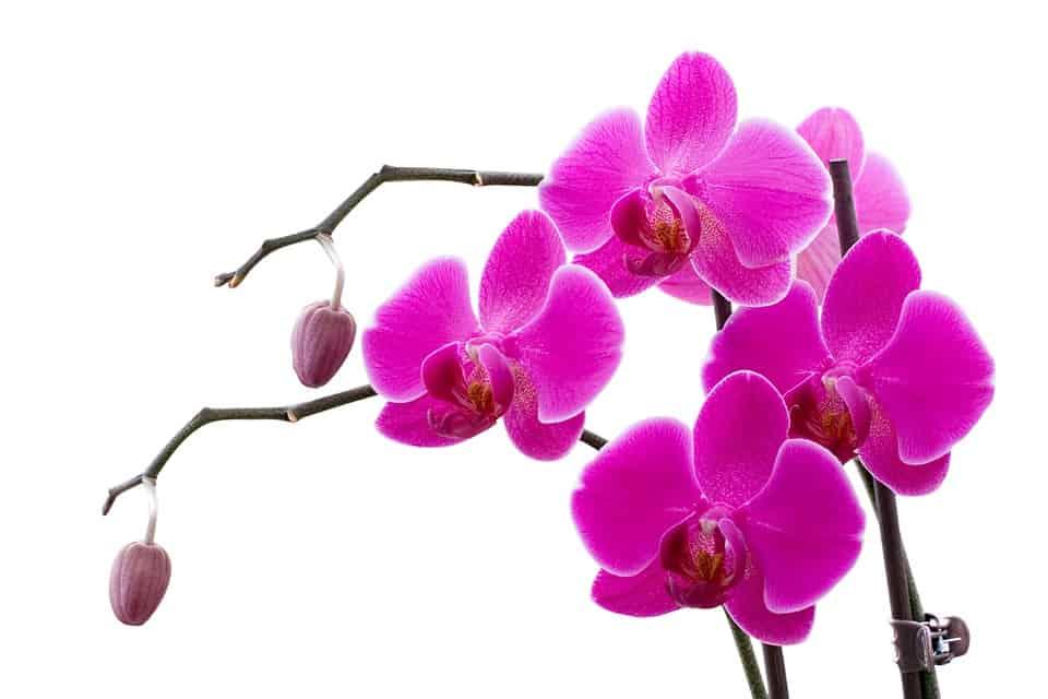 orchidey vyžadujú starostlivosť