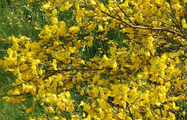 Cytisus scoparius - prútnatec metlovitý - listnaté kríky