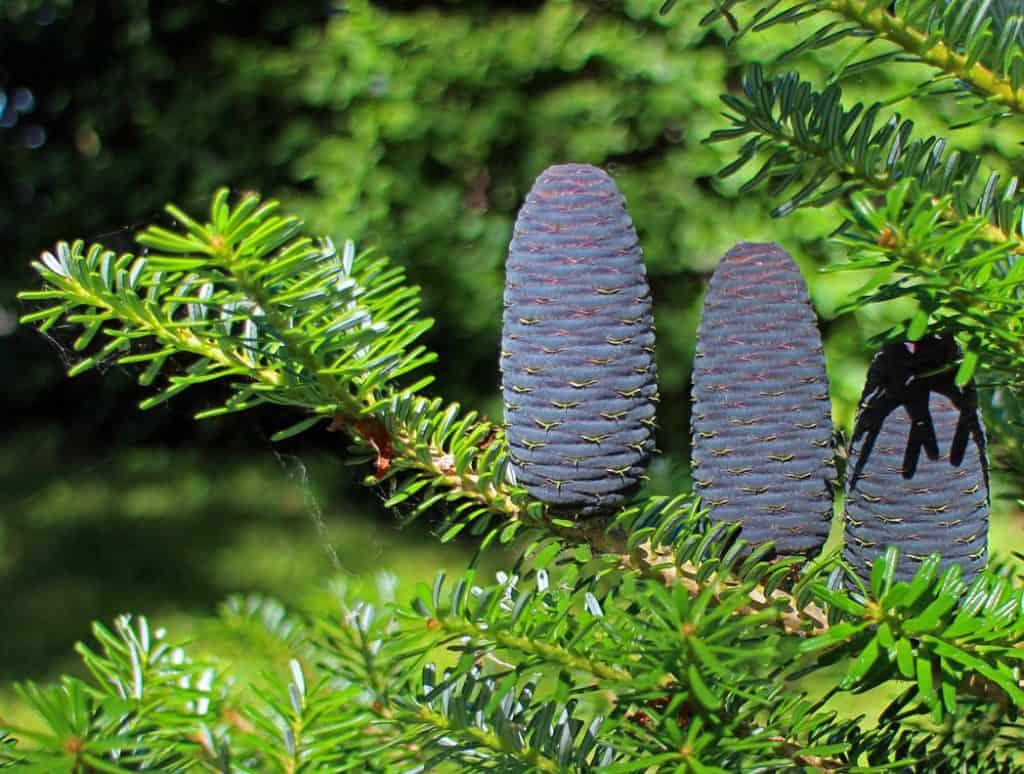 Ihličnaté okrasné dreviny do každej záhrady