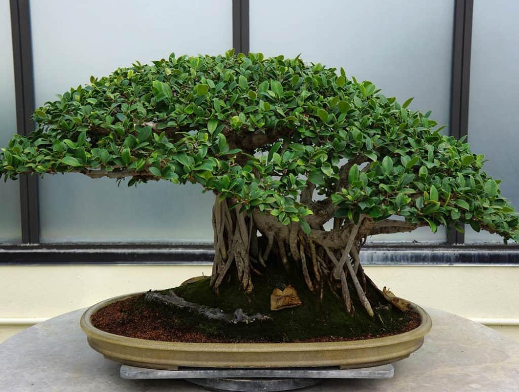 Bonsaj - okrasné rastliny