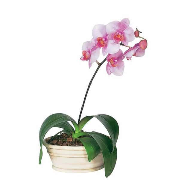 orchid-plants