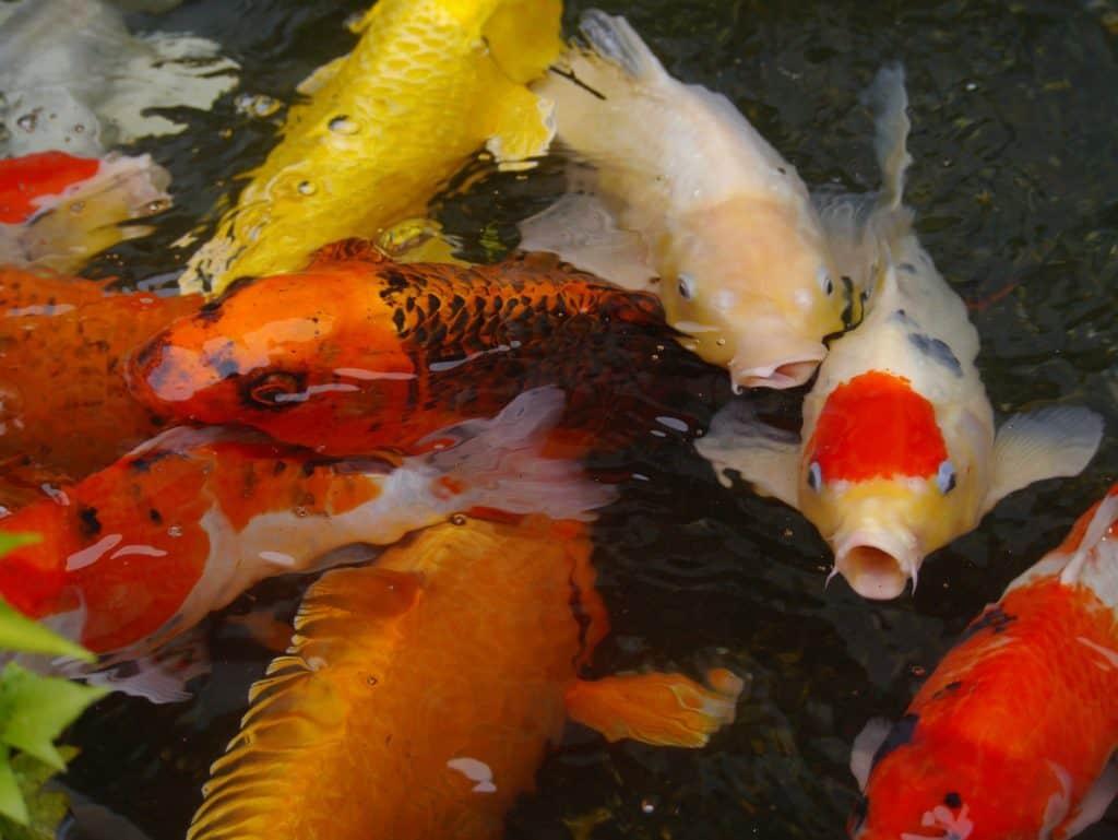 aquarium-fish-1447282_1920
