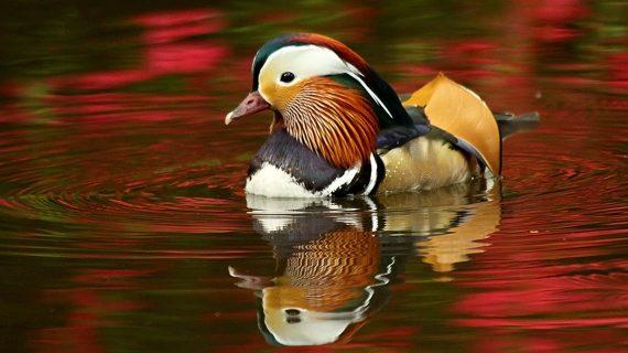 Kačička mandarínska