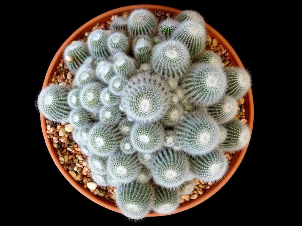 Kaktusy v kvetináči