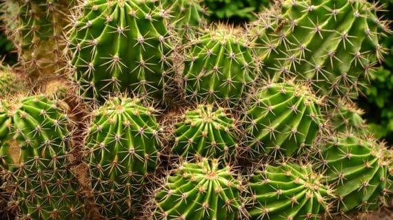 Pestujeme kaktusy