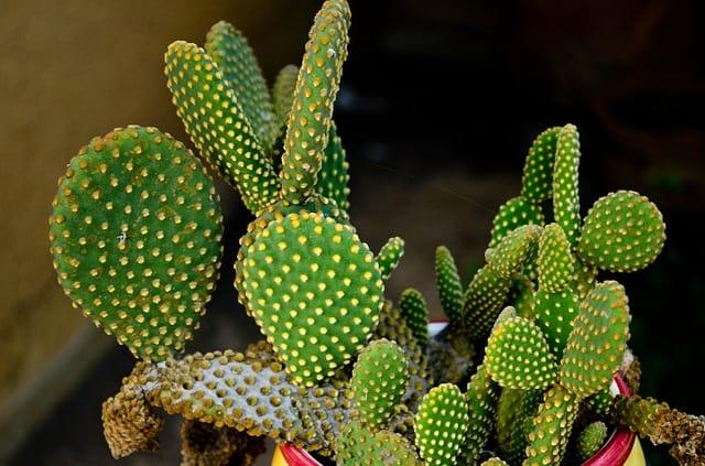 cactus-804396_640