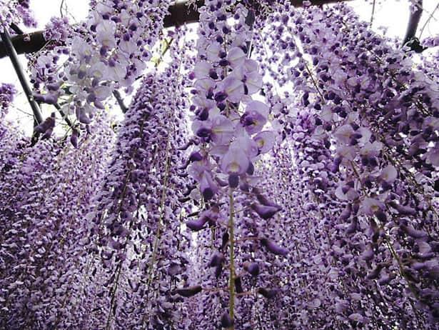kvety-wisteria