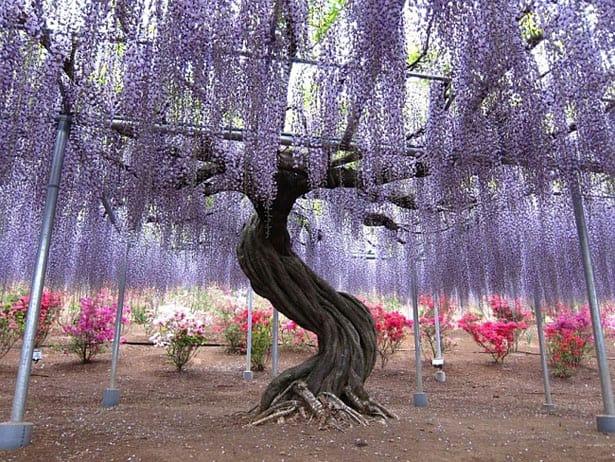 strom-wisteria