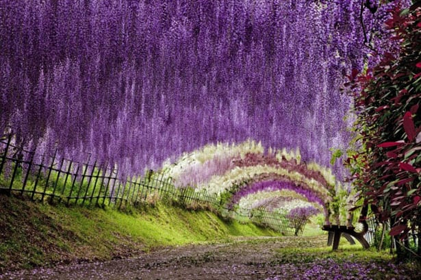 tunnel-wisteria
