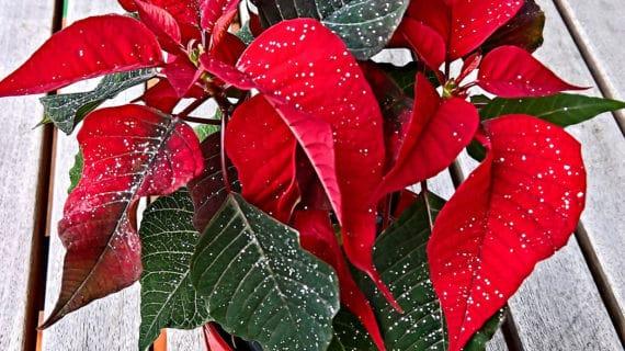 Vianočná exotika - rastliny ktoré kvitnú počas Vianoc