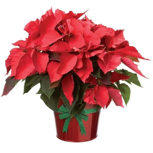 vianocna-ruza