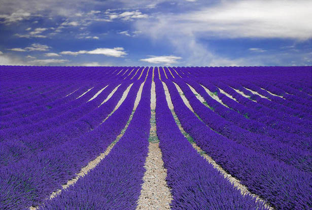 lavender-fields-provence