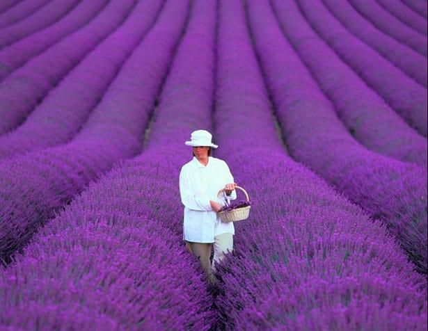 lavender-provence-france