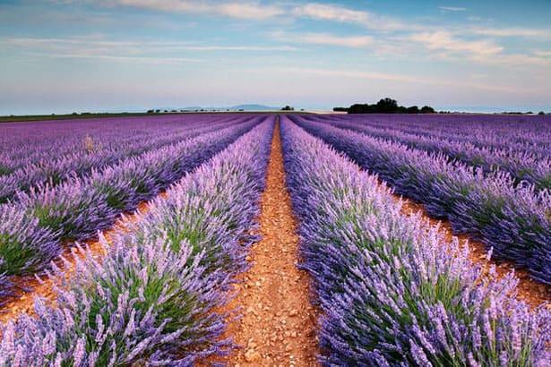 tapeta-lavender