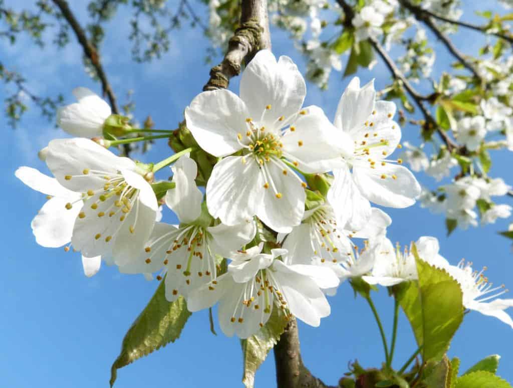 Kvitnúci strom - apríl v záhrade
