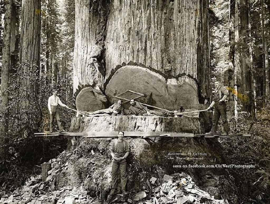 Drevorubači, ktorí skolili obrovské kalifornské sekvoje