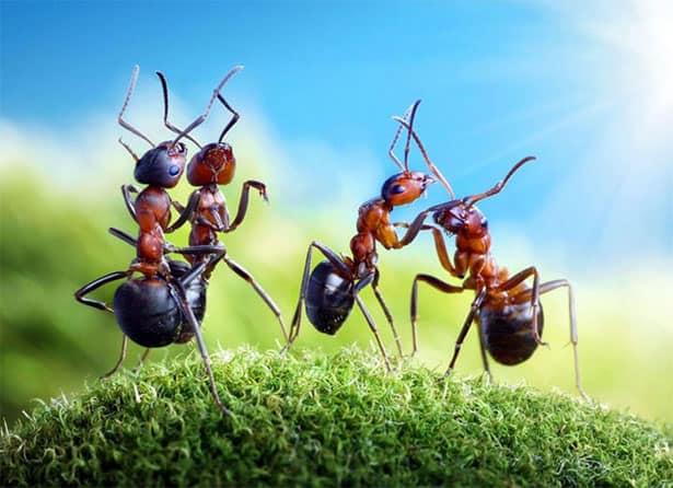 tancujuce-mravce