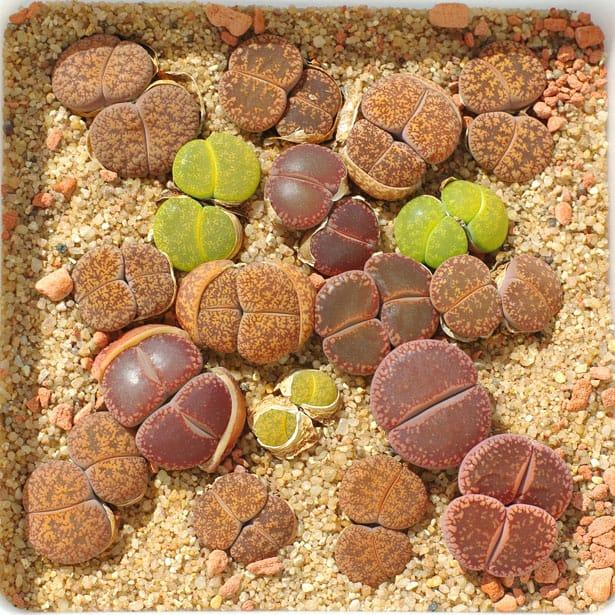 kvetouci-kameny