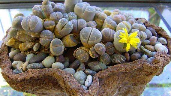 Lithopsy – živé kamene