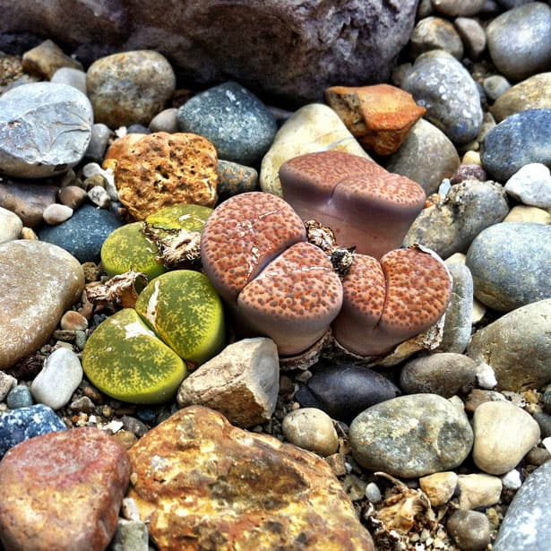 """""""Živé kamene"""" alebo Lithopsy? Poznáte tieto jedinečné sukulenty?"""
