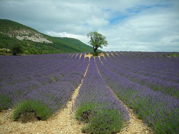 lavender-478260_640