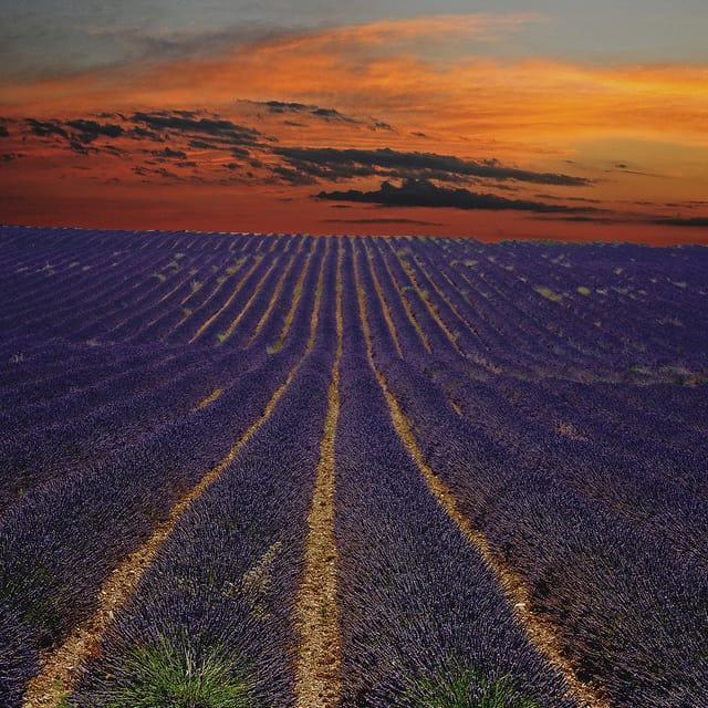 lavander-field