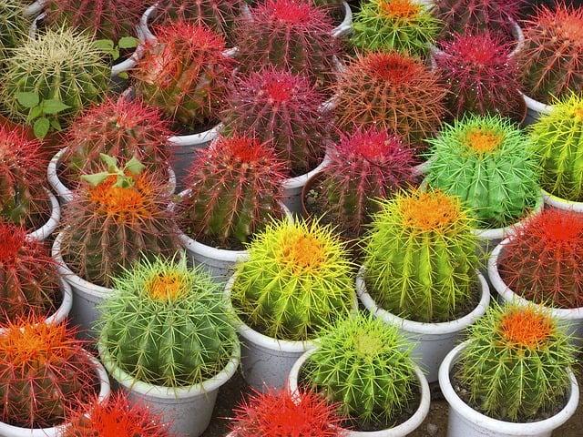 cactus-448131_640