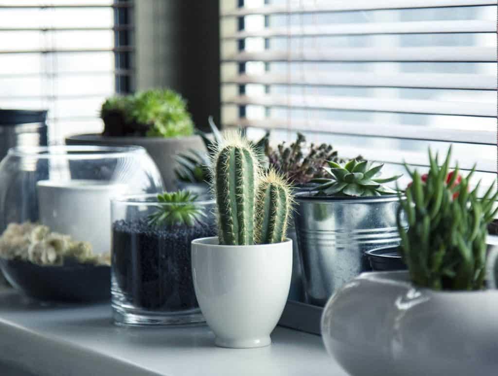 Ako pestovať kaktusy a sukulenty