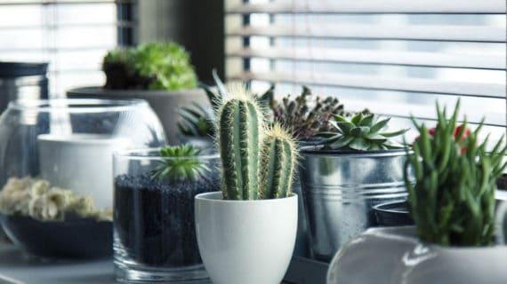 Ako na pestovanie kaktusov a sukulentov