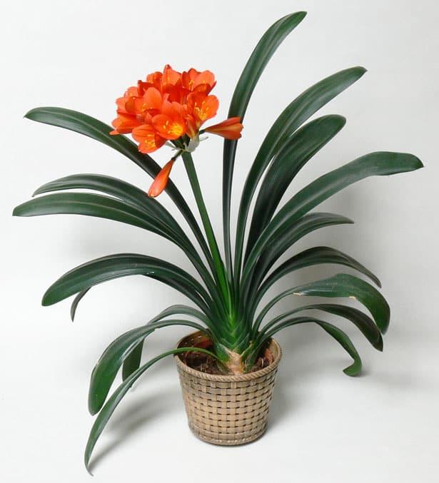 Jedovaté izbové rastliny - Klívia