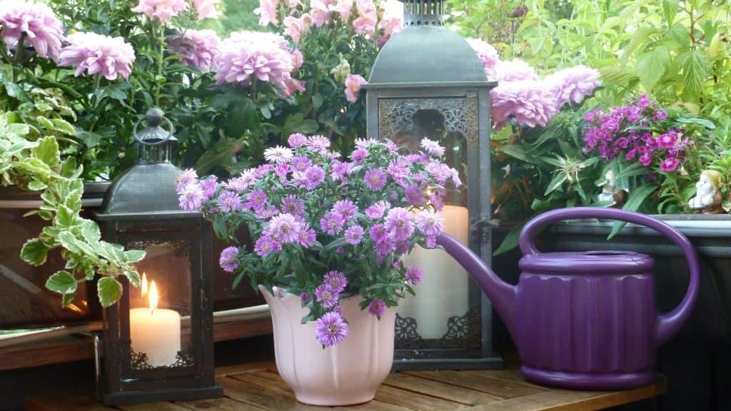 chryzantémy v kvetináči
