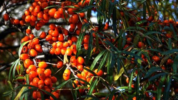 Rakytník rešetliakový – zázračná rastlina