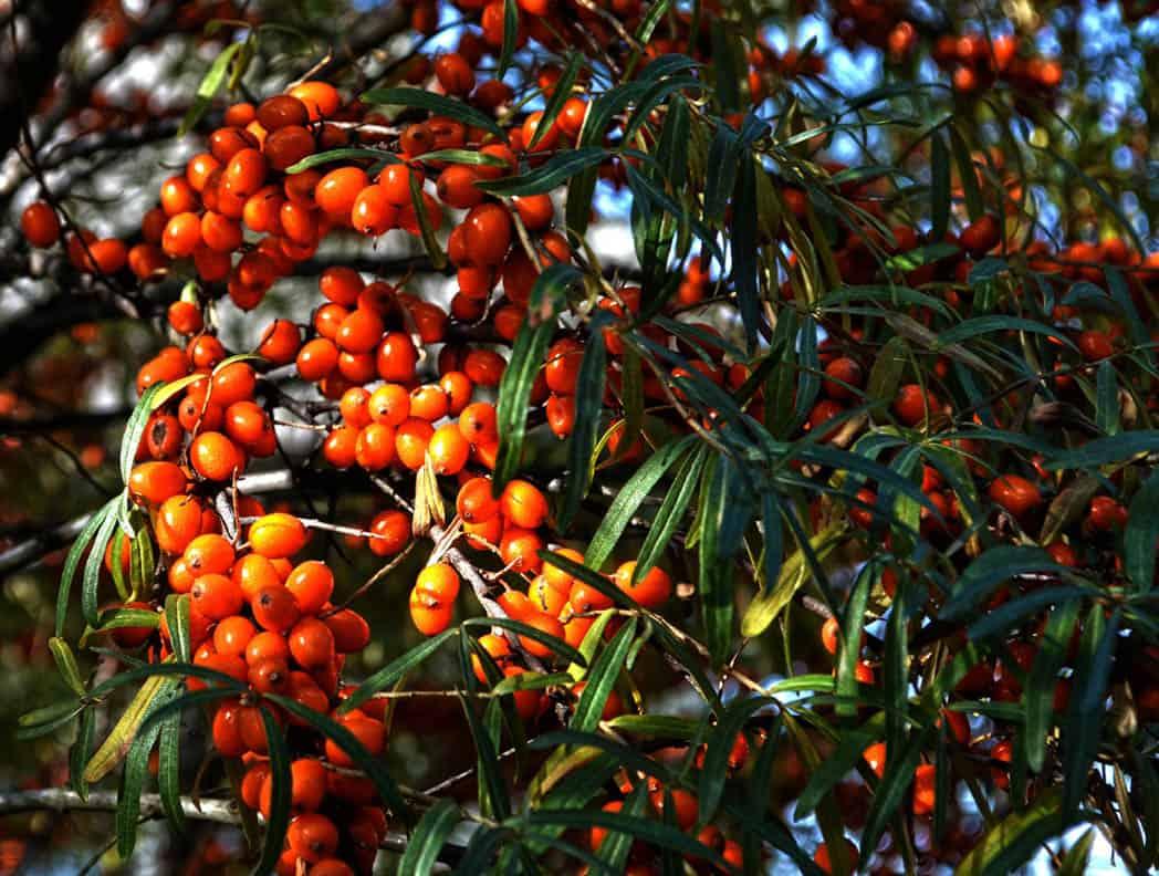 Prečo je rakytník rešetliakový považovaný za zázračnú rastlinu?