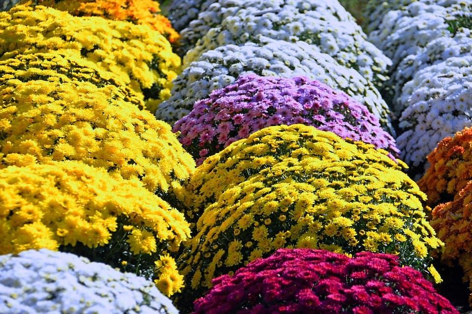 farebné chryzantémy