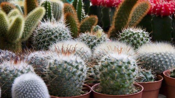 Pripravujeme zazimovanie kaktusov a sukulentov