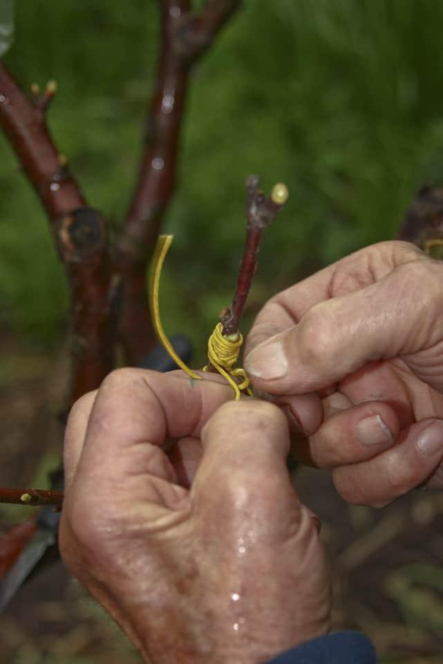 Vrúbľovanie ovocných stromov