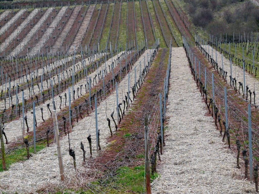 Správny čas na rez viniča