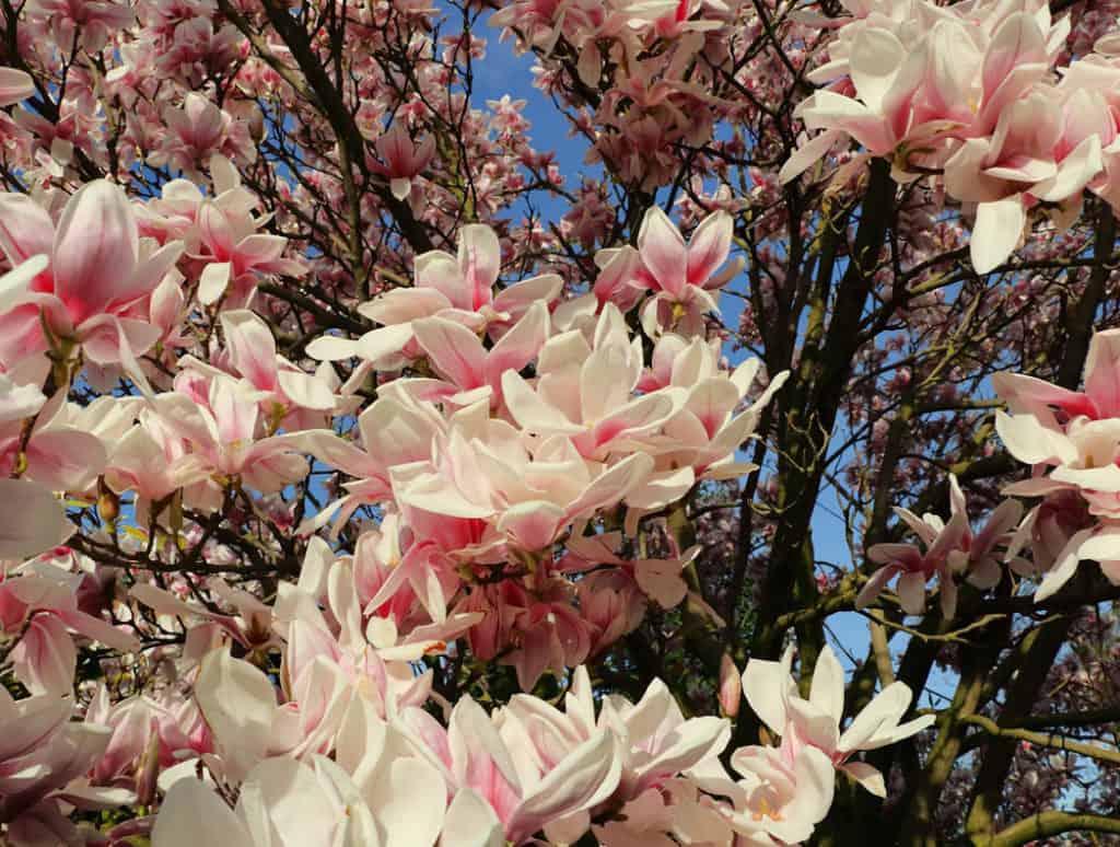 Rozkvitnutá čerešňa