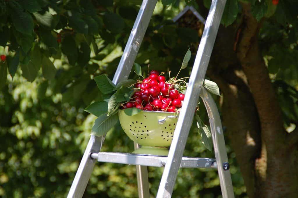 Zber čerešní - jún v záhrade