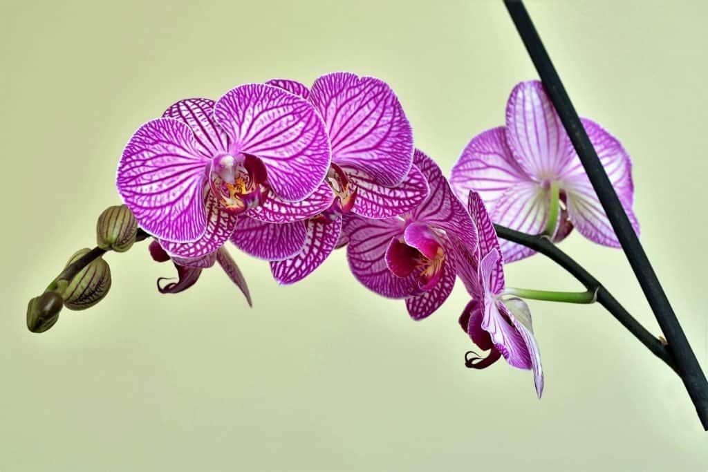 Pri pestovaní orchideí