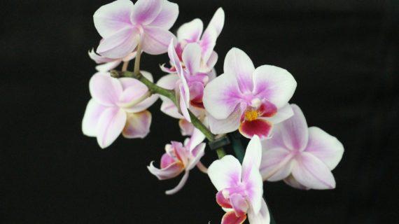 Ako sa správne starať o orchideu