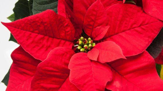 Pestovanie vianočnej ruže po celý rok, nielen na sviatky