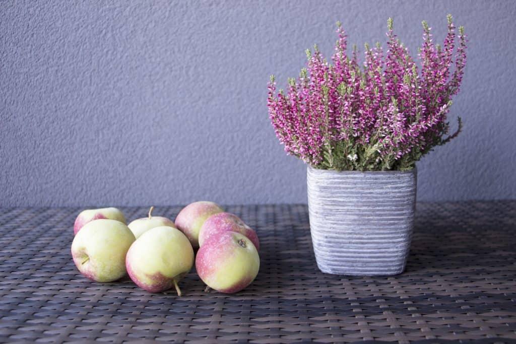 Vresovec obyčajný - ako pestovať vresovec