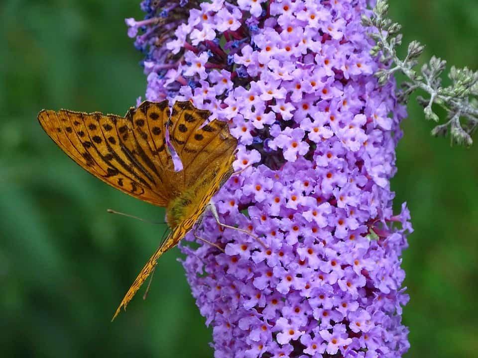 Motýlí ker, alebo Budleja Davidova