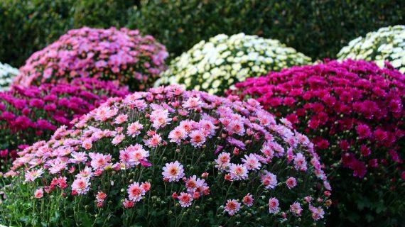 Chryzantémy - november v záhrade