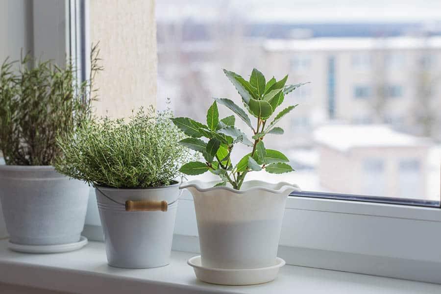 domace pestovanie byliniek