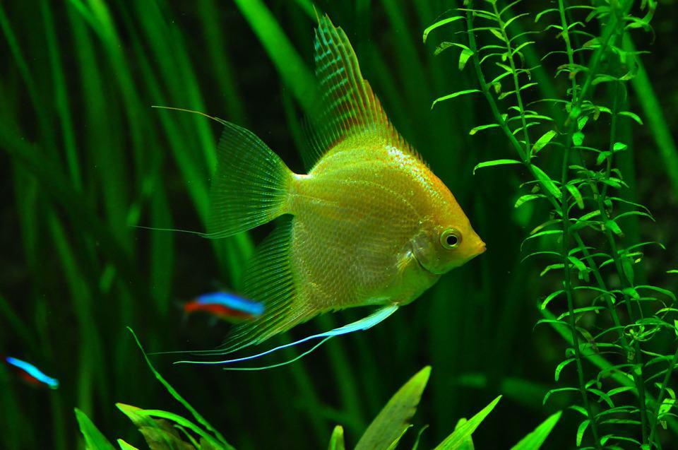 Akvarijná rybka