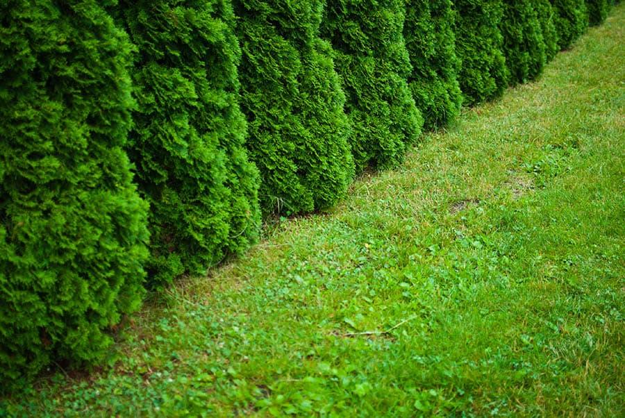 Živý plot z tují - kedy strihať tuje