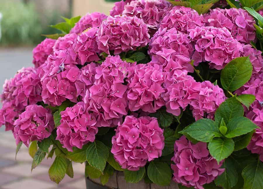Hortenzia: Pestovanie, starostlivosť a hnojenie